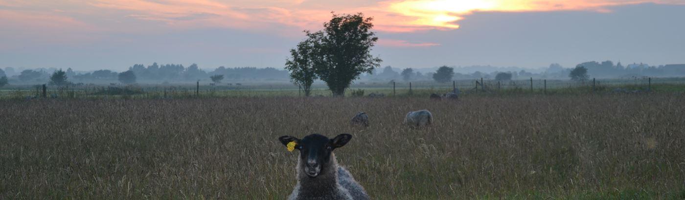 Lammbutiken Lamm i skymning